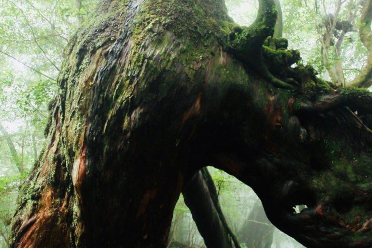 06くぐり杉