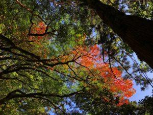 縄文杉紅葉